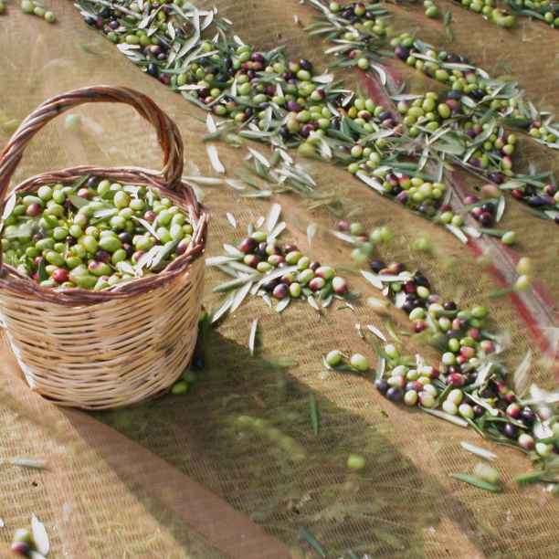 Liquido d'Oro brengt traditionele olijfolie naar Nederland