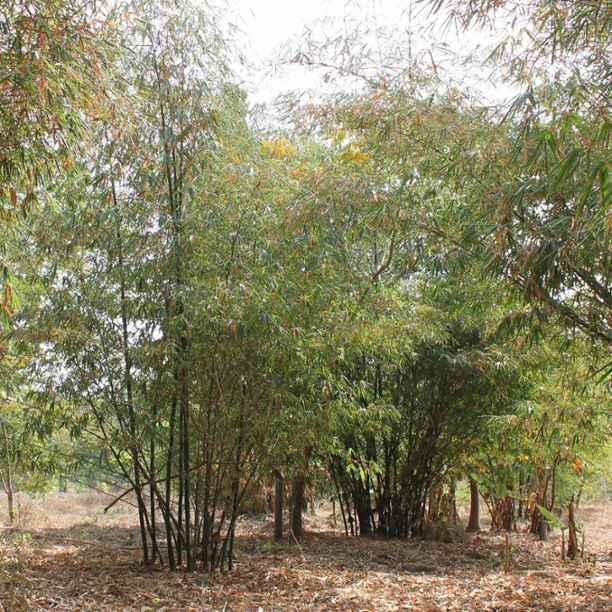 Bambooruko | Duurzame brandstof en bouwmaterialen van bamboe