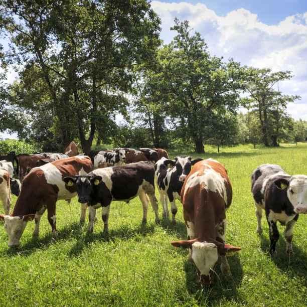 Waarom jaarlijks 440.000 mannelijke dieren worden afgevoerd